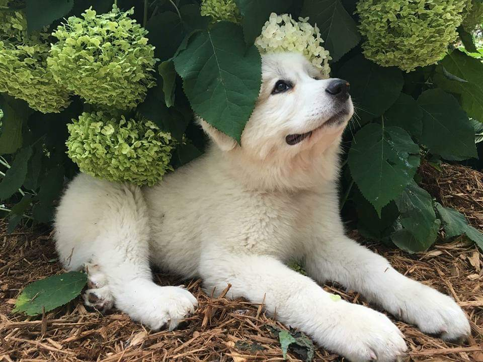 Great Pyrenees Puppies | Up North Pyrenees